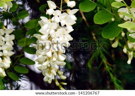 White flowers of acacia - stock photo