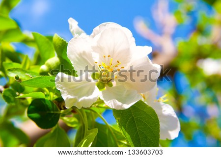 white flowers of apple - stock photo