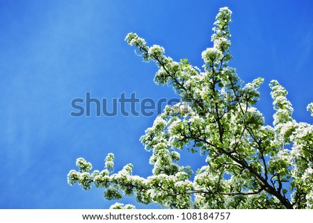 White flowers of apple trees against the blue sky close up - stock photo