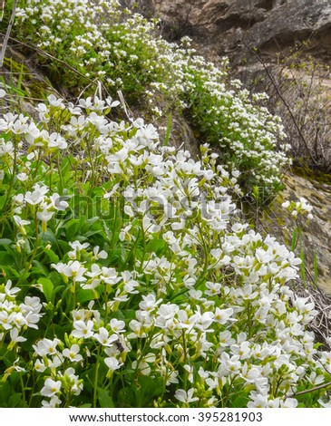 White flowers of Arabis caucasica (mountain rock cress or Caucasian rockcress) on steeps of Crimean mountains in april - stock photo