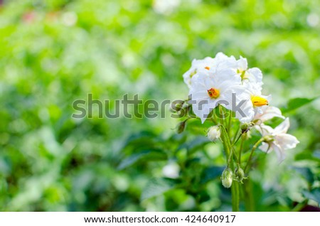 white flowers of potato in the garden - stock photo