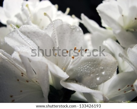white flowers of rhododendron with dew on a black background - stock photo