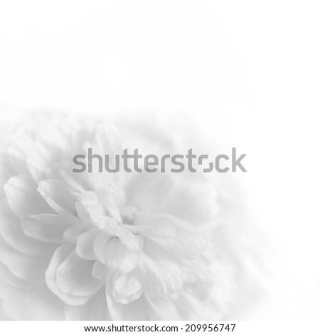 White flowers on a white background - stock photo