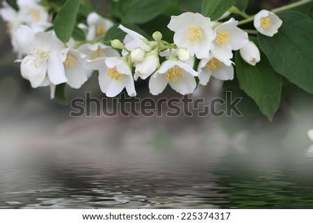 white flowers shrubbery jasmine as symbol springtime - stock photo