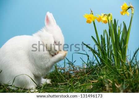 White fluffy bunny scratching its nose beside daffodils on blue background - stock photo