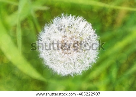 White fluffy dandelion flower on a blurred background grass, bokeh, view from above - stock photo