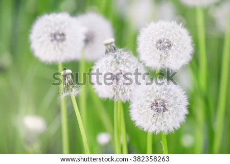 White fluffy dandelions, natural green blurred spring background, defocused image, selective focus - stock photo