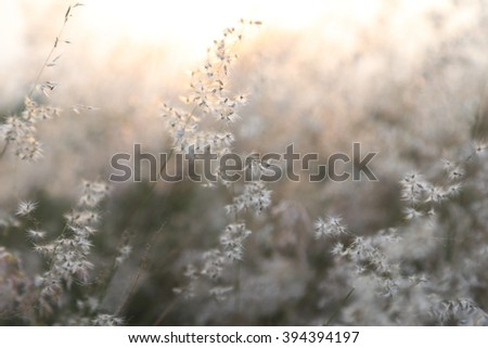 White fluffy flower grass movement by wind with rim light of sunset soft focus  - stock photo