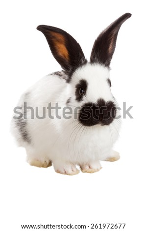 White fluffy rabbit isolated on white background - stock photo