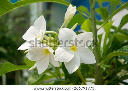 White frangipani flower - stock photo