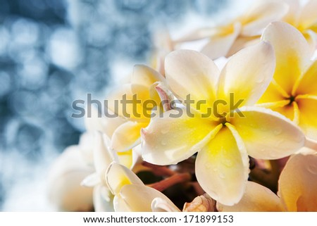 white frangipani flowers bouquet with fresh water dew against  blue blur background use for copyspace and nature background backdrop  - stock photo