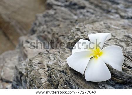 White frangipani on grey rock. - stock photo