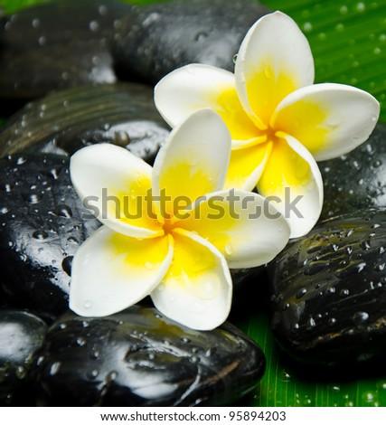White frangipani on stone close up - stock photo