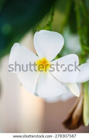 white frangipani or plumeria flowers with leaves - stock photo