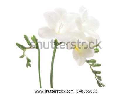 White freesia isolated on white background   - stock photo