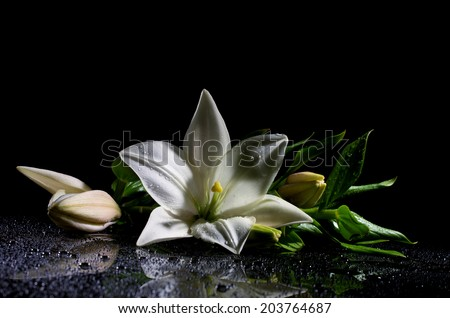 white freshness lily with buds lying  on reflection table with bright water drop on black background  - stock photo
