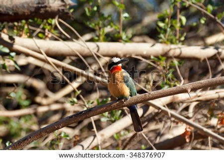 White Fronted Bee-eater (Merops bullockoides) on tree on the Zambezi river bank in Caprivi Namibia, Africa - stock photo