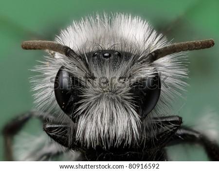 White Furred Miner Bee - stock photo