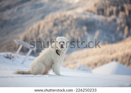 White furry dog in winter mountains on sunny day - stock photo