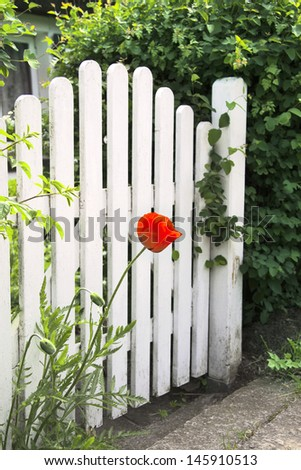 White garden gate and red poppy - stock photo