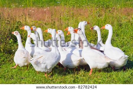 white geese isolated on white - stock photo