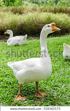 White geese on green grass field - stock photo