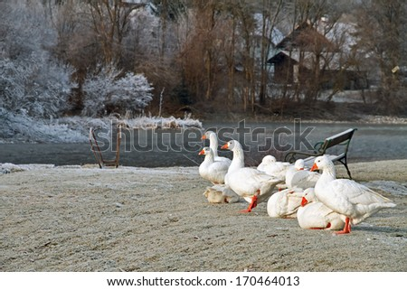 White geese on the background of the winter village. - stock photo