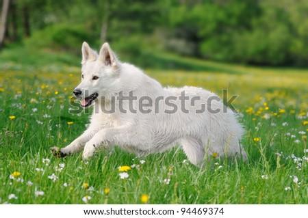 White german shepherd runs happy over the meadow - stock photo
