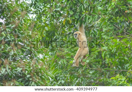 White gibbon cute monkey holding and hanging on tree in the wild - stock photo