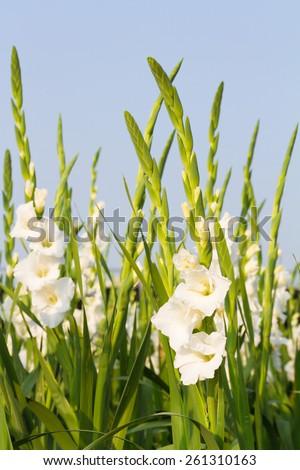 White gladiola in the farm - stock photo