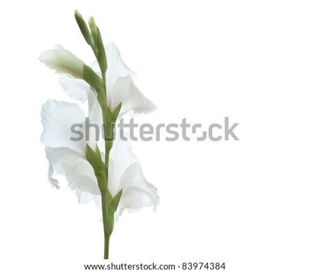 White Gladiolus Flower Isolated on White Background - stock photo