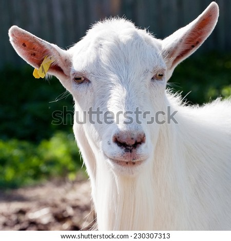 white goat closeup snout funny portrait on outdoor background - stock photo