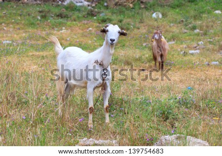 White goat grazed on a green meadow with flowers, in the distance, visible brown goat - stock photo