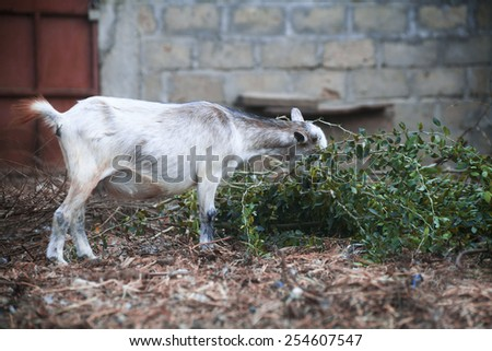 White goat on african farm who looking for eating  - stock photo