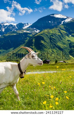 White Goat on alpine meadow with green grass and yellow flowers. Year of the goat. Chinese Zodiac 2015.  - stock photo