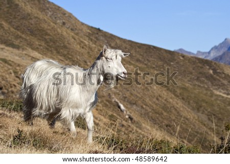 White goat (Orobic goat) running along the mount slopes. - stock photo
