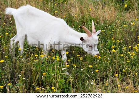 White goat pastures on the farm.  - stock photo