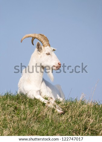 White goat resting in grass field against blue sky - stock photo