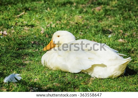 White Goose on the Grass - stock photo