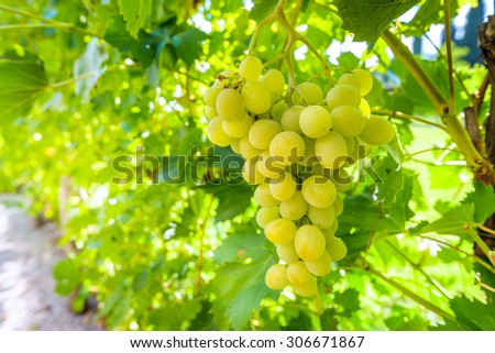 White grapes hanging on a bush in a sunny beautiful day - stock photo