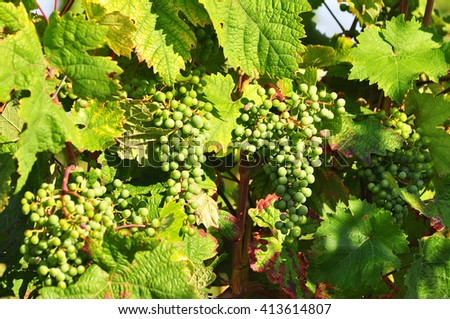 White grapes with green leaves on the vine. - stock photo