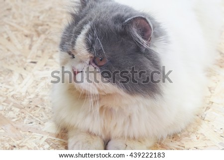white grey cute cat crouching sitting on wooden floor - stock photo
