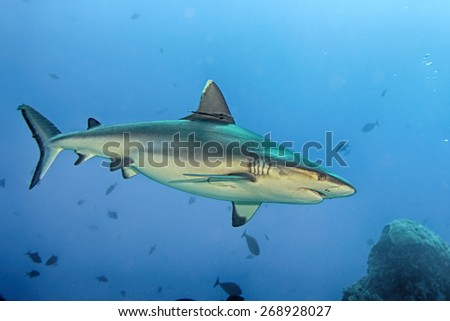 White grey shark jaws close up portrait while looking at you - stock photo
