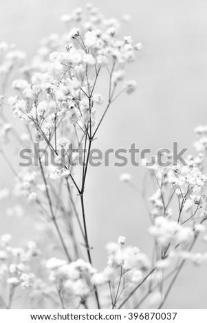white gypsophila flowers - stock photo