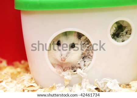 white  hamster sitting in a  house - stock photo