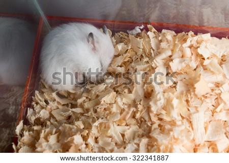 White hamster sleep on sawdust with low light on corner - stock photo
