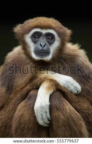 White handed gibbon - stock photo
