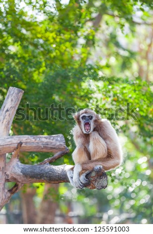 White-handed gibbon(Hylobates lar) is yawning and look at us - stock photo