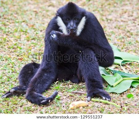 White handed Gibbon or Lar Gibbon - stock photo