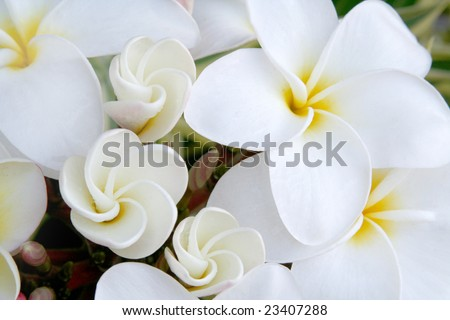 White Hawaiian Plumeria Flowers.  These are the flowers used to make leis. - stock photo